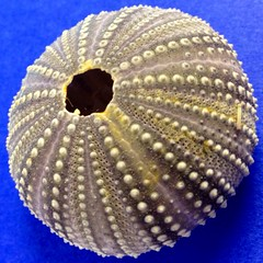 Weirdest shell ever (ThroughMyEyes_JKM) Tags: shell seashell uploaded:by=flickrmobile flickriosapp:filter=nofilter