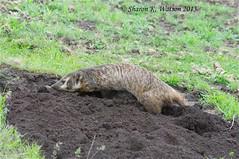 (Idahoeyes) Tags: summer idaho weasel burrow sett omnivore mustelidae nikond90 americanbadger badgerden sharonwatson adultfemalebadger taxideinae