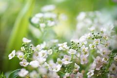 in a small world (Sa&Se.) Tags: white blur flower macro dof sweetalyssum
