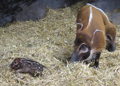 Keeping Up with Baby (njchow82) Tags: nature closeup wildlife piglet calgaryzoo redriverhog inspiredbylove animaladdiction beautifulexpression thewildlife almostanything worldofanimals itsazoooutthere earthnaturelife nancychow canonpowershotsx50hs