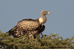 Ruppells (Wild Dogger) Tags: bird natu