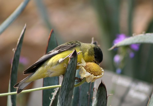 Lesser Goldfinch 2