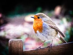 bird london robin animal canon erithacusrubecula kenwood lightroom brewhousecafe sx220