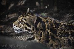 Clouded Leopard (scrappydoggy) Tags: cat canon zoo washingtondc dc washington kitty leopard bigcat nationalzoo 100400mm bigkitty cloudedleopard 100400 5dmarkii 5dii