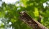 Coppersmith Barbet (Megalaima haemacephala) (Imthyas Ahmed Shirajee) Tags: bird nature birds canon photography eos university photographer wildlife ngc photographers delta east 7d ahmed ctg bangladesh bangla wildlifephotographer birdwatcher coppersmith chittagong ngg barbet coppersmithbarbet megalaimahaemacephala imti pakhi canon70300isusm canonef70300mmf456isusm megalaima haemacephala birdsofbangladesh canoneos7d coppersmithbarbetmegalaimahaemacephala chattagram canonbangladesh imthyas shirajee mehidibag imthyasahmedshirajee eastdeltauniversity