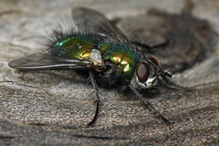 Flying Colours 03 (Chris Wakefield1_Traveling Norway) Tags: macro insect fly colours greenbottle canoneos60d blowflys luciliaillustrissericata 100mmf24lens