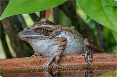 four-lined tree frog 20130429-IMG_0718-Edit (shirl6900) Tags: macro nature singapore amphibian focusstacking tamron180mm polypedatesleucomystax fourlinedtreefrog