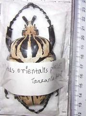 Goliathus orientalis presis 1400 rmb  85mm (Nikko19930527) Tags: goliathus