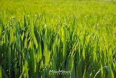 Grass (Milan Mitrovic Photography) Tags: light sunset sun green nature ecology grass photography nikon natural near natureza serbia ngc million spa eco priroda beautifull ecological eko srbija morava trava ecologic lepo ekologija zeleno sunce psenica vrnjci ekoloski