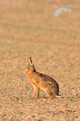 Sunlit hare (Penelope Malby Photography) Tags: dawn spring hare norfolk springwatch brownhare