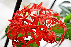 Red Flowers (Vander Muniz) Tags: park flowers red brazil flores nature brasil saopaulo natureza vermelha
