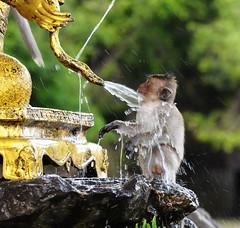 ,, Drinking Fountain ,, (Jon in Thailand) Tags: green water fountain statue thailand gold monkey nikon wildlife drinking jungle thai splash nikkor primate h20 d300 wildlifephotography 70300vr asianwildlifephotography