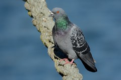 Feral Pigeon. (stonefaction) Tags: city nature birds scotland dundee pigeon wildlife quay feral faved