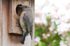 Bluebird at the Door (Dave In Oregon) Tags: bird nature oregon canon20d birdhouse bluebird westernbluebird sialiamexicana