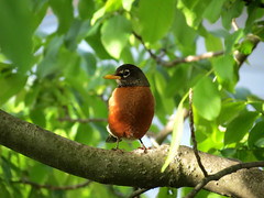 robin in tree (natureburbs) Tags: bird robin spring birding birdwatching birdsinnewjersey
