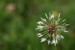 just before its too late (Anne sterby) Tags: 2 flower macro nature up grass canon lens denmark eos dof close bokeh mark may seed dandelion seeds 5d canon5d lonely makro blomst maj mark2 grs fr canonef100mmf28usmmacro mlkebtte 2013 natureplus