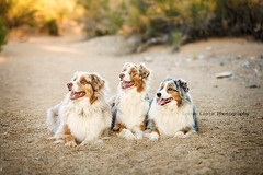 UV7A4093 (Aussies4me_ReenaG) Tags: dogs naturallight wash australianshepherd aussies 52weeksfordogs wwwreenagiolacom trioofaussies