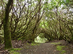 Tree Tunnel at Dunvegan Castle (chdphd) Tags: tree castle tunnel dunvegan