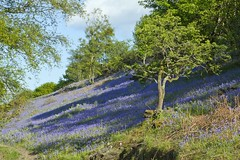 Clychau'r Gog Moel y Gest Porthmadog 30 Mai, 2013.  Bluebells Moel y Gest Porthmadog May 30 2013 (Martin Pritchard) Tags: blue bells countryside y moel porthmadog gest