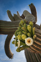 Saguaro Bloom-187.jpg (paulgillphoto) Tags: