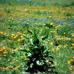 Pointillisme (bleumarie (absente dure indtermine)) Tags: orange nature floral fleur marie jaune plante nikon bokeh vert bleu roussillon perpignan carr pr catalogne pyrnesorientales friche pointillisme suddelafrance bousquet formatcarr bleumarie nikonsd3100 photomariebousquet
