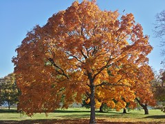 (DaveH1970) Tags: autumn trees red orange fall leaves yellow gold leaf maple october stlouis missouri forestpark ree