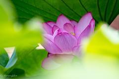 2016 Lotus #3 (Yorkey&Rin) Tags: 2016  em5 japan july lotus machida olympus olympusm75300mmf4867ii rin t7191438 tokyo yakushiikekouen      ngc npc