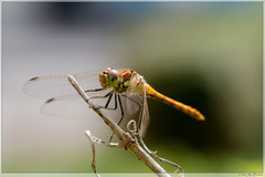 Libelle / Dragonfly (Joop Rensema.) Tags: libelle dragonfly canon eos70d ef100mm f28l macro is usm