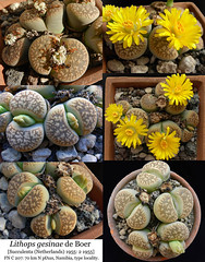 Lithops gesinae (collage) (Succulents Love by Pasquale Ruocco (Stabiae)) Tags: lithops collage gesinae namibia aizoaceae mesembs mesembryanthema mesembryanthemum mesembryanthemaceae africa stabiae succulentslove succulents succulente sassifioriti succulent succulentas succulenta floweringstones forumcactusco cactusco pasqualeruocco piantegrasse piantagrassa plantesgrasses mimetismo mimicry