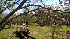 """We're bound together, Now and forever... Loneliness has gone"" - MUSE ( NEKO) Tags: lumiacam lumia sakuras hanami sopaulo aolivre zonaleste parquedocarmo parc park parque natureza nature flora mataatlantica taiko   love family famlia flowers flores cerejeiras festivaldascerejeiras sp sepe itaquera fazendadocarmo"