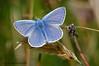 Common Blue (m) 2 (ABPhotosUK) Tags: animals butterflies canon commonblue dartmoor devon ef100400mmisii ef25mmextensiontube eos7dmarkii invertebrates lepidoptera lycaenidae macro nocrop polyommatusicarus wildlife