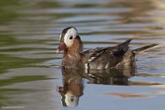 Molting Mandarin Duck (male) (rajojomanik_99) Tags: canon7dii 7dii canonef400mmf56llens mandarinduck lakelandfl