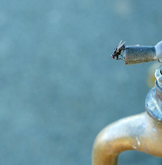thirsty (Franziska`s photo art) Tags: thirsty fly macro watertap