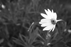 (RyanGraham_) Tags: flower black white blackandwhite bandw bnw aperture rule thirds ruleofthirds blur sharp pretty experimenting patterns still life outdoors lighting sun stilllife angle depthoffield depth field outdoor monochrome plant blossom summer nature garden petals