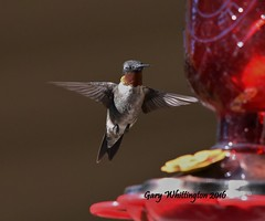 Hummingbird_1804 (Porch Dog) Tags: 2016 garywhittington kentucky nikond750 fx nikon200500mm hummingbird avian nature wildlife feathers bird summer august birdfeeder backyard