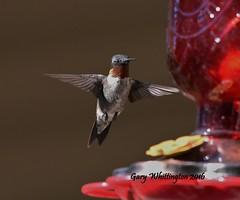 Hummingbird_1804 (Porch Dog) Tags: 2016 garywhittington kentucky nikond750 fx nikon200500mm hummingbird avian nature wildlife feathers bird summer august birdfeeder backyard