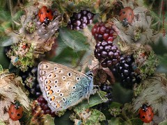 Forest Glade (KingfisherDreams) Tags: butterfly forestglade ladybug ladybird insect berry fruit blackberry commonblue