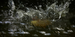 _B5A8371REWS Egyptian Goose,  Jon Perry, 31-7-16 zau (Jon Perry - Enlightenshade) Tags: jonperry enlightenshade arranginglightcom splash water