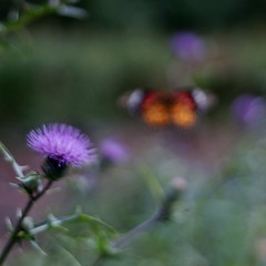 """FIELD THISTLE & BUTTERFLY"" ( ) Tags: wildflower nex7 kern makroswitar 50mmf19 outfocus bokeh trimming masterphotos"