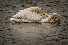 The Contortionist (rlb1957) Tags: americanwhitepelican pelecanuserythrorhynchos quarrylakes fremont california eastbayregionalparkdistrict preening
