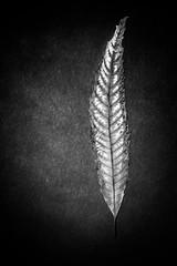 Castanea (Sandros110) Tags: chestnut leaf blackwhite nature chestnuttree tree herbarium