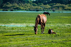 Horse mommy and her colt (Osama Ali Photography) Tags: naturaleza nature wildlife horses salvaje caballo espaa animals natural sunshine green horse caballos colt     pony grassland outdoor field animal landscape