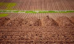 DSC_0341 Valley jpg (normaltoilet/ LSImages) Tags: pei princeedwardisland nikon d40 2016 valley dirt red clay soil iron field plowed furrows