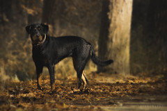 Portrait (Jostography) Tags: sira animal retrato portrait perro dog rottweiler rottie nature autumn otoo canon espaa spain explore animales naturaleza dogs color shadow sun processing exposicion eos