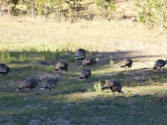 CusterStPk62 (alicia.garbelman) Tags: southdakota custerstatepark blackhills wildlife birds wildturkeys