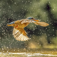 sparkling escape (pixellesley) Tags: kingfisher alcedoatthis bird flying flight fishing diving fish spray water marsh river wild hide lesleygooding