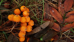 Summer Drought, Early Fall - IMGP6322 (catchesthelight) Tags: nh fall autumncolors fallfoliage mtash berries orange