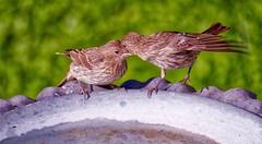 Sisters? (robinlamb1) Tags: birds bird animal nature finch housefinch backyard birdbath outdoor akissforsister