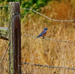September13image0989 (Michael T. Morales) Tags: californiabluebird bluebird westernbluebird bird ranacreekranch carmelvalley fence barbedwirefence