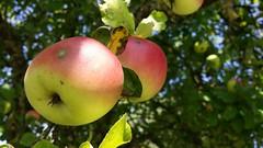 Fresh Apples (Been Around) Tags: apple apfel tree apfelbaum hrbach gaspoltshofen bezirkgrieskirchen obersterreich upperaustria sterreich eu austria europe europa appletree